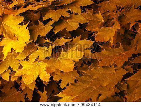 Maple Leaves Juicy Yellow
