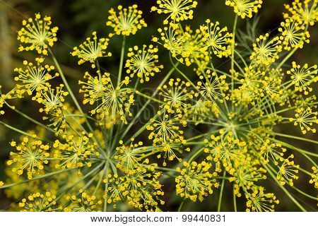 Yellow Umbrellas - Inflorescence Of Dill