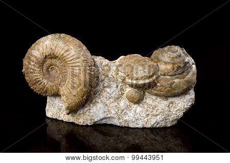 Ammonite Fossils.