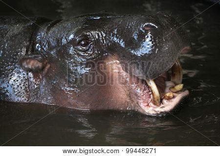 Pygmy hippopotamus (Choeropsis liberiensis). Wild life animal.