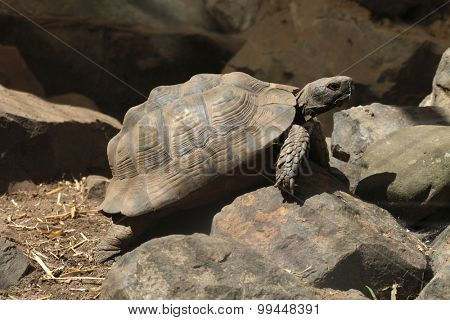 Greek tortoise (Testudo graeca), also known as the spur-thighed tortoise. Wild life animal.