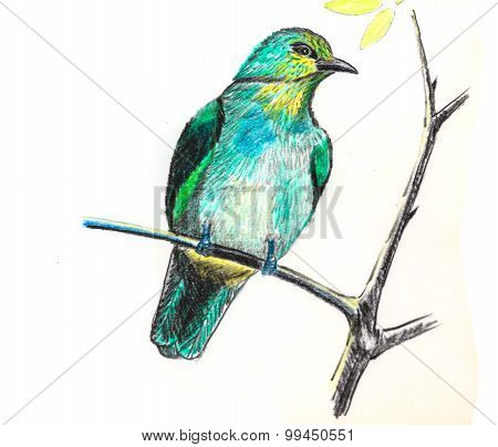 Stripe-throated Bulbul Bird Drawing