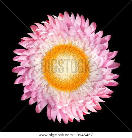 Pink Strawflower, Helichrysum Bracteatum Isolated On Black
