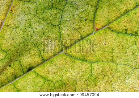 Leaves Of Wine Grape