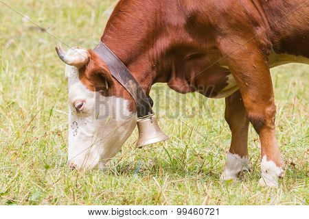 Brown Milk Cow In A Meadow Of Grass