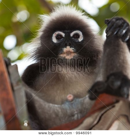 Dusky blad Monkey zitten In een Gootset