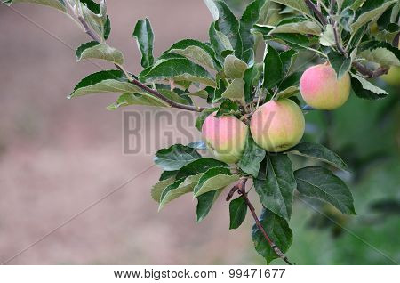Unripe Apples Hanging On A Branch At Orchard