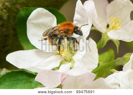 Bumblebee collecting pollen from the apple tree flower in a spring time