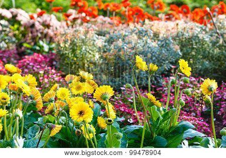 Pot Marigold Yellow Or Calendula In Spring.