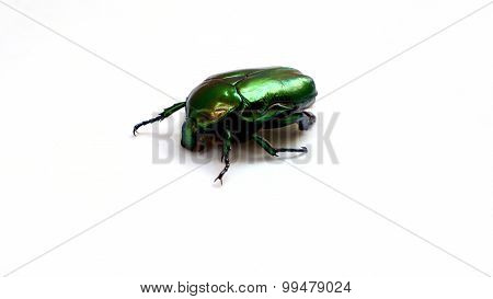 Arthropods, Insect Scarab Gold Bronzova Closeup
