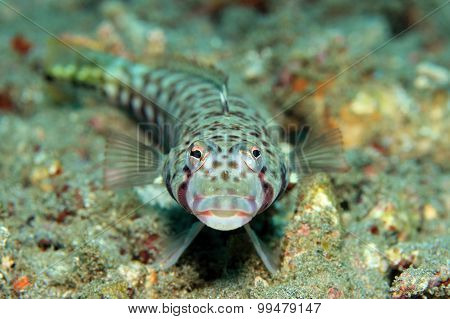 Latticed Sandperch