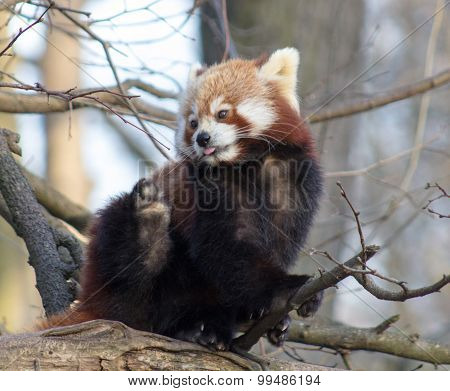 Red panda against a natural tree background