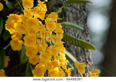 Lindley's Dendrobium Is Beautiful Flower And Have Yellow Colour