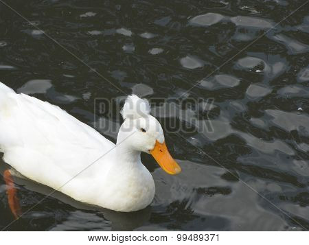 Crested white duck
