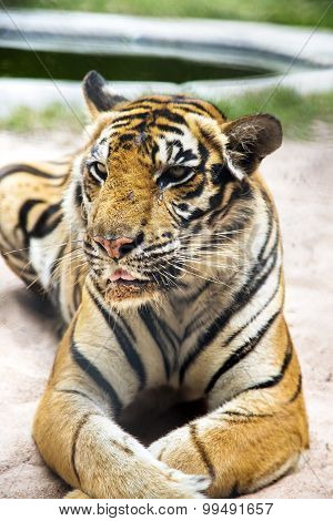 Bengal tiger in a zoo in Million Years Stone Park