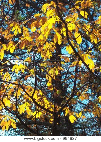 Golden Leaves In The Sunlight
