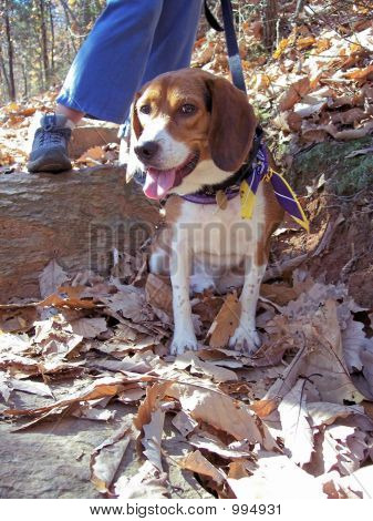 Hiking Beagle