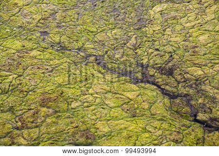 Algal Mats On A Lake.