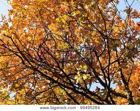 Yellow and orange leaves on a blue sky background at autumn in Belgrade