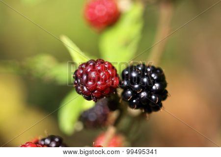 Red And Black Blackberry Fruits.