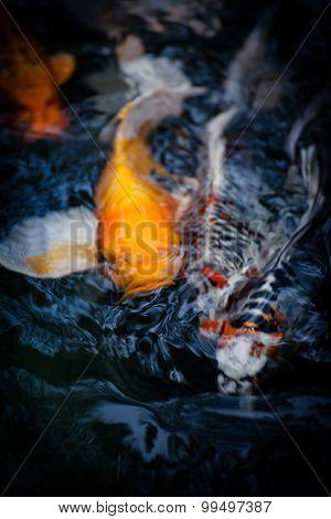 Carp Fish ,koi
