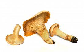 pic of chanterelle mushroom  - three fresh chanterelle mushrooms isolated against white studio background - JPG
