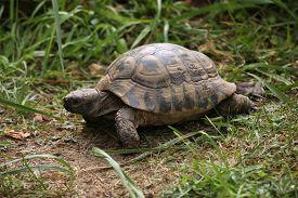 foto of russian tortoise  - Russian tortoise  - JPG