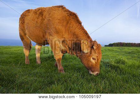 Portrait Of Grazing Cow