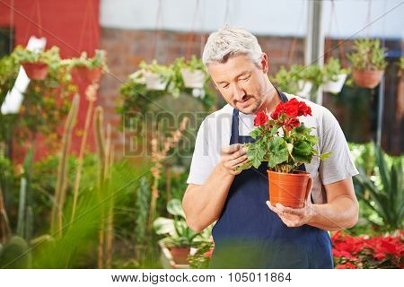 Gardener checking leaves of begonia flower for infestation