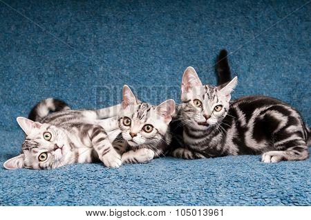 American shorthared kitten