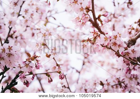 sakura flowers in bloom
