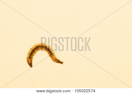 Close Up Of Mosquito Larvae With Orangey Lighted Background