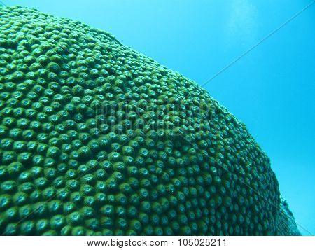 Massive Coral, Diploastrea