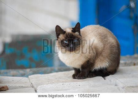 Graceful Siamese cat sitting on pile of bricks