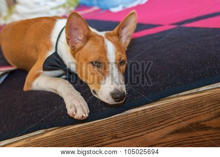 Bored basenji dog lying at the bed