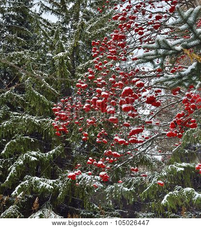Winter Background With Red Rowan Berries