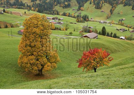 Colorful Maple And Pear Tree On A Green Meadow Near Gstaad