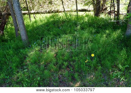 Horsetail Plants