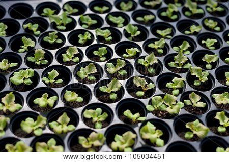 Salad sprout (Young plant) in the tray