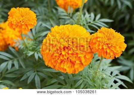 Marigolds (tagetes Erecta, Mexican Marigold, Aztec Marigold)