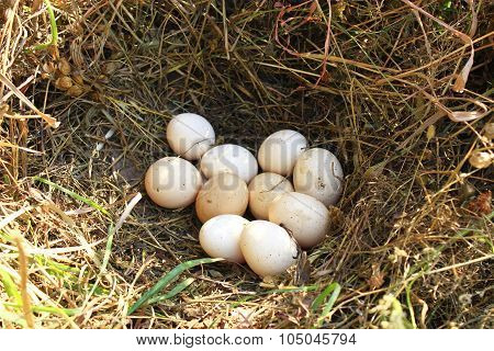 Nest Of Hen With Ten Eggs