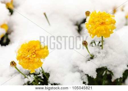 Flowers Under First Snow On Frozen Flowerbed