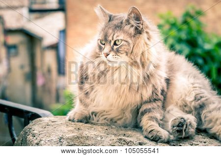 Long Hair Domestic Cat