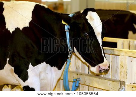 Portrait Of A Holstein Friesian Cattle