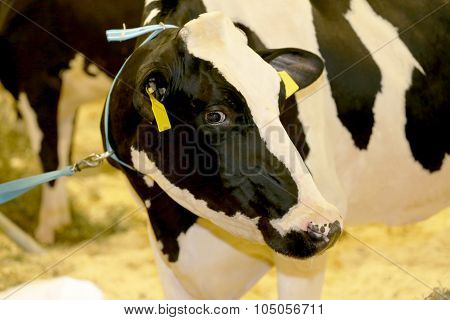 Head Shot Of A Friesian Cow In The Barn