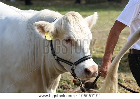 Headshot Of A Cattle Cow