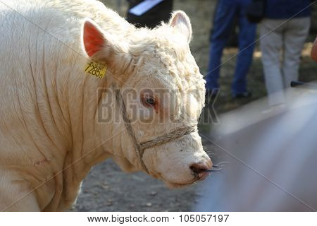 Young Cattle Cow Portrait