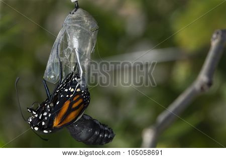 Butterfly being born