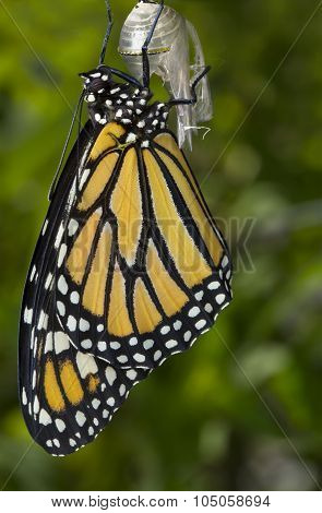 Monarch Grasping Cocoon