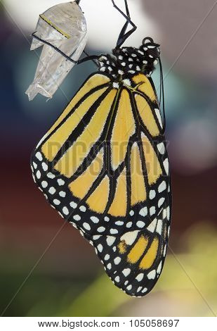 Monarch Butterfly Drying its Wings